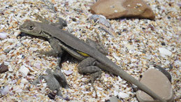 Lizard, Paracas, Peru