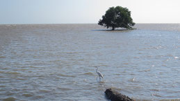 Great Egret, Silberreiher, Ardea alba, Chitre