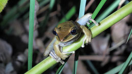 Rocket Frog, Tambopata National Reserve