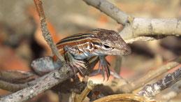 Deppe´s whiptail, Sechsstreifen-Rennechse, Aspidoscelis uniparens