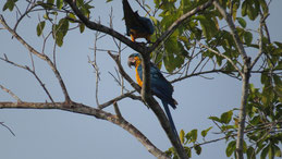 Blue-and-yellow Macaw, Gelbbrustara, Ara ararauna, Manu National Park