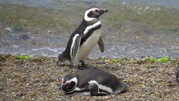 Magellanic Penguin, Magellan-Pinguin, Valdes