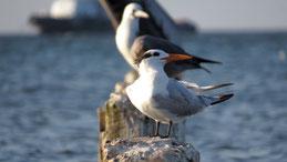 Royal Tern, Königsseeschwalbe, Thalasseus maximus, Paracas