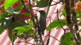 Rufus-tailed hummingbird, Braunschwanzamazilie, Amazilia tzacatl, refugio bartola