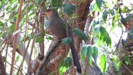 Hispaniolan Lizard-Cockoo, Haitikuckuck, Saurothera longirostris, Sierra de Bahoruco