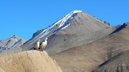 Andean Goose, Andengans, Chloephaga melanoptera, Lauca National Park