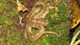 Eyelash Viper, Greifschwanz-Lanzenotter, Bothriechis schlegelii
