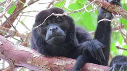 Mantled howler monkey, Mantelbrüllaffe, Alouatta palliata