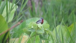 Chestnut-bellied Seedeater, Rotbauchpfäffchen, Sporophila castaneiventris, Manu National Park