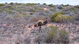 Emu, Dromaius novaehollandiae, Outback Westcoast