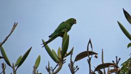 Hispaniolan Parakeet, Haitisittich, Psittacara chloroptera, Santo Domingo