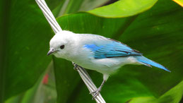 Blue-gray tanager, Blautangare, Thraupis episcopus