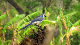 White-throated magpie jay, Langschwanzhäher, Calocitta formosa, Isla Ometepe