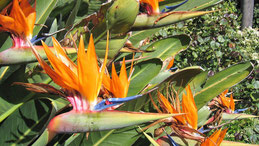 Paradise Bird Flower, Paradiesvogelblume, Strelitzia reginae