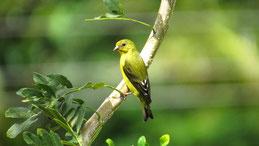 Lesser Goldfinch (female), Mexikozeisig, Spinus psaltria