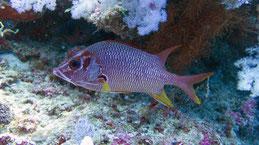 Sabre squirrelfish, Großdorn-Husarenfisch, Sargocentron spiniferum
