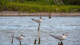 Sandwich Tern, Brandseeschwalbe, Thalasseus sandvicensis, Laguna de Ovideo