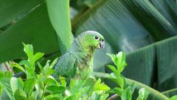 Mealy Parrot, Mülleramazone, Amazona farinosa, San Carlos
