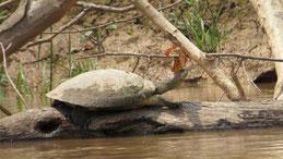 Arrau Turtle, Südamerikansiche Flussschildkröte, Podocnemis expansa