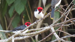 Yellow-billed Cardinal, Mantelkardinal, Paroaria capitata