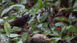 Chestnut-backed antbird, Braunrücken-Ameisenvogel, Myrmeciza exsul