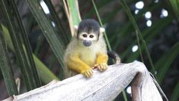 Black-capped Squirrel Monkey, Bolivianischer Totenkopfaffe, Saimiri boliviensis