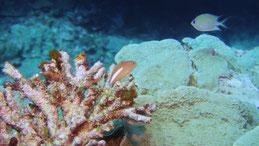Arc-eye hawkfish, Monokel-Korallenwächter, paracirrhites arcatus