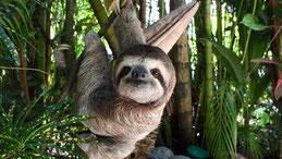 Three-toed sloth, Dreifinger-Faultier, Bradypus
