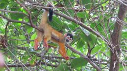 Central american squirrel monkey, Mittelamerikansicher Totenkopfaffe, Saimiri oerstedii