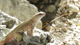 Hispaniolan Curlytail Lizard, Haiti-Glattkopfleguan, Leiocephalus schreibersi