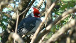 Red-crested Cardinal, Graukardinal, Paroaria coronata