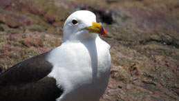 Belcher´s Gull, Band-tailed Gull, Simeonsmöwe, Larus belcheri, Paracas Nacional Reserve