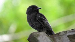 Jet antbird, Trauer-Ameisenfänger, Cercomacra nigricans, Mindo
