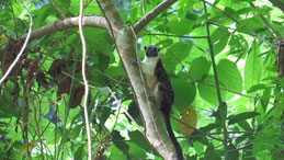 Geoffroy´s Tamarin, Geoffroy-Perückenaffe, Panamaperückenaffe, Saguinus geoffroyi