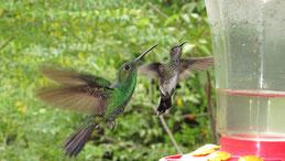 Scaly-breasted Hummingbird, Schuppenbrustkolibri, Phaeochroa cuvierii