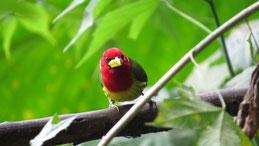 Red-headed Barbet, Anden-Bartvogel, Eubucco bourcierii, Mindo
