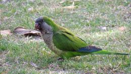 Monk Parakeet, Mönchssittich, Myiopsitta monachus, Punta del Oeste