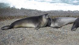 Elephant Seal, See-Elefant, Mirounga, Valdes