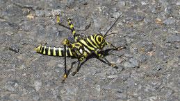 Black and Yellow Grashopper, Südamerikansiche Riesenhauschrecke, Tropidacris cristata