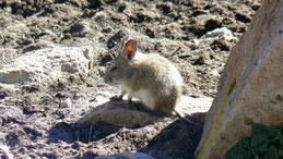 Darwin´s leaf-eared mouse, Darwin-Blattohrmaus, Phyllotis darwini, Lauca National Park