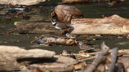 Little ringed plover, Flussregenpfeifer, Charadrius dubius