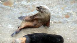 Southamerican Sea Lion, Mähnenrobbe, Otaria flavescens, Valdes