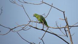 Southern Mealy Parrot, Mülleamazone, Amazona farinosa, Manu National Park