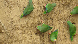 Kobald-winged Parakeet, Blauflügelsittich, Brotogeris cyanoptera, Claylick Manu National park
