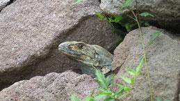 Black Iguana, Gemeiner Schwarzleguan, Ctenosaura similis