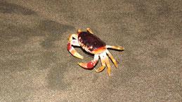 Helloween crab, Helloweenkrabbe, Gecarcinus ruricola