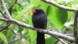 Black-fronted Nunbird, Schwarzstirntrappist, Monasa nigrifrons, Manu Road