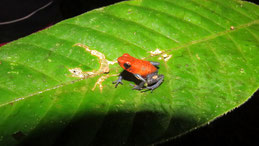 Strawberry poison dart frog, Erdbeerfröschchen, Oophaga pumilio, Refugio Bartola