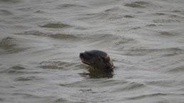 Neotropical Otter, Südamerikansicher Fischotter, Lontra longicaudis, Lago Nicaragua