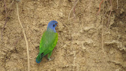 Blue-headed Parrot, Schwarzohrpapagei, Pionus menstruus, Claylick Manu National Park